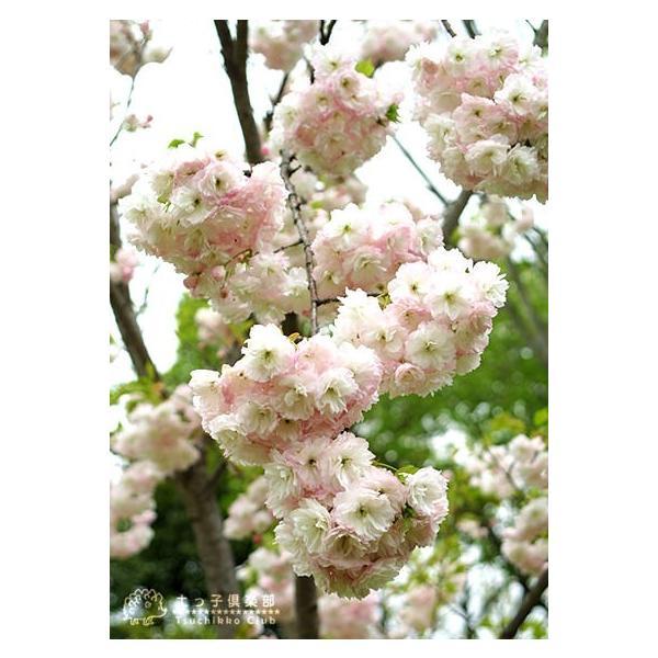 桜 『 楊貴妃( ヨウキヒ )』 接ぎ木 10.5cmポット 苗木|produce87|04