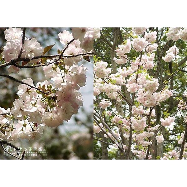 桜 『 楊貴妃( ヨウキヒ )』 接ぎ木 10.5cmポット 苗木|produce87|05