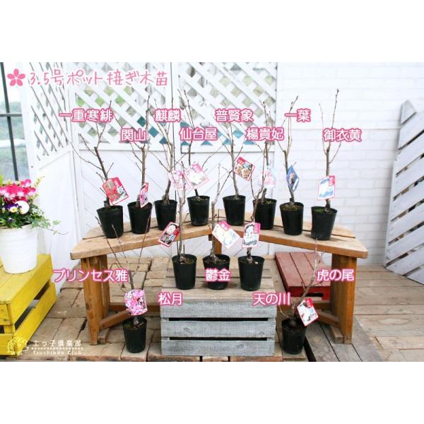 桜 『 楊貴妃( ヨウキヒ )』 接ぎ木 10.5cmポット 苗木|produce87|06