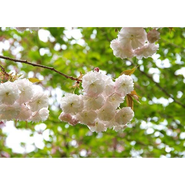 桜 『 普賢象 ( フゲンゾウ )』 接ぎ木 10.5cmポット 苗木 produce87 03