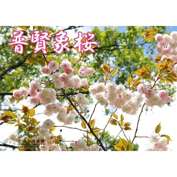 桜 『 普賢象 ( フゲンゾウ )』 接ぎ木 10.5cmポット 苗木 produce87 04
