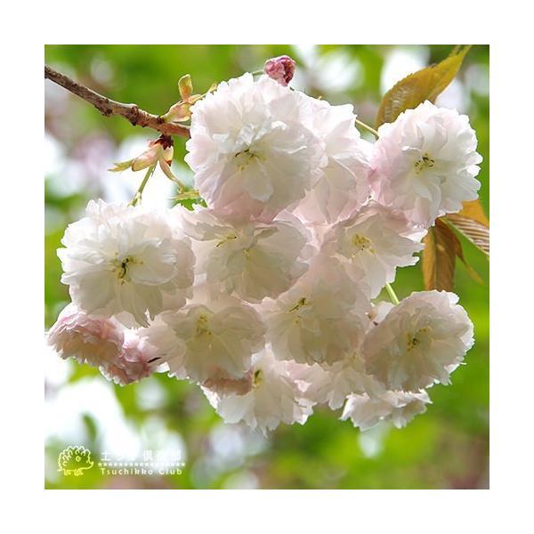 桜 『 普賢象 ( フゲンゾウ )』 接ぎ木 10.5cmポット 苗木 produce87 05