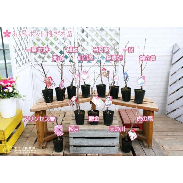 桜 『 普賢象 ( フゲンゾウ )』 接ぎ木 10.5cmポット 苗木 produce87 06