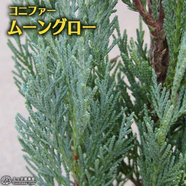 コニファー 『 ムーングロー 』 15cmポット苗 produce87