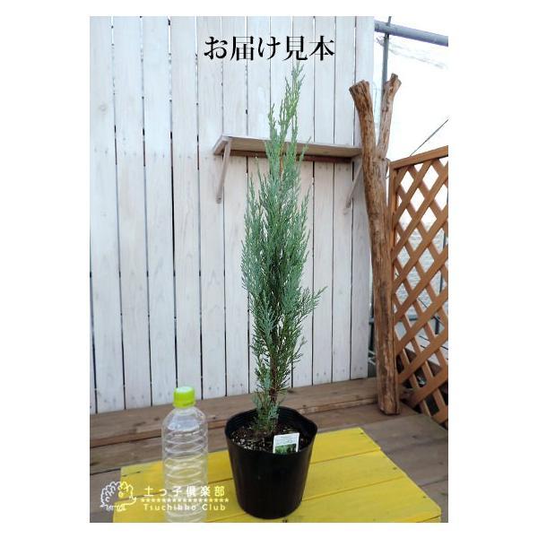 コニファー 『 ムーングロー 』 15cmポット苗 produce87 02