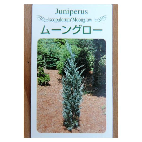 コニファー 『 ムーングロー 』 15cmポット苗 produce87 04