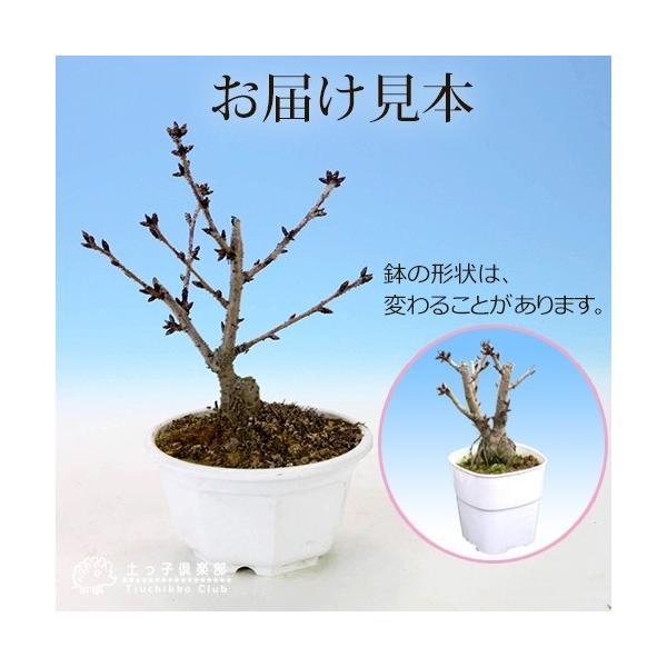 桜盆栽 『 一才桜 旭山(あさひやま) 』 (花芽付き)|produce87|02