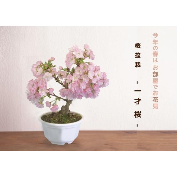 桜盆栽 『 一才桜 旭山(あさひやま) 』 (花芽付き)|produce87|11