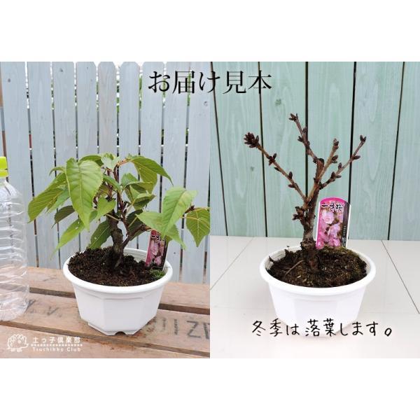 桜盆栽 『 一才桜 旭山(あさひやま) 』 (花芽付き)|produce87|12