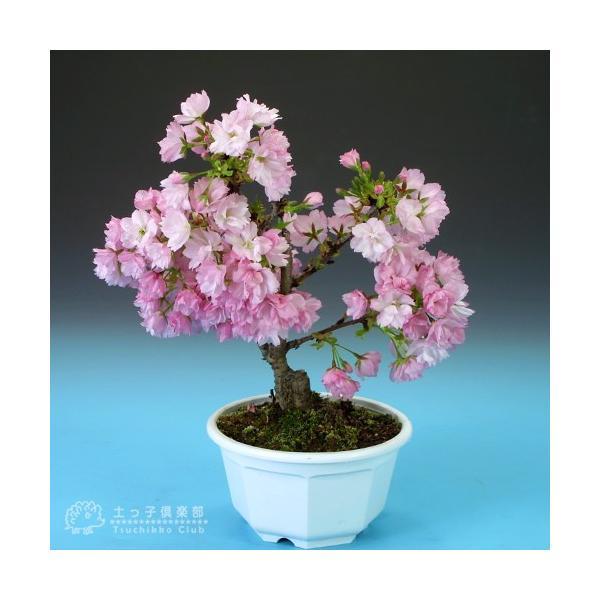 桜盆栽 『 一才桜 旭山(あさひやま) 』 (花芽付き)|produce87|03