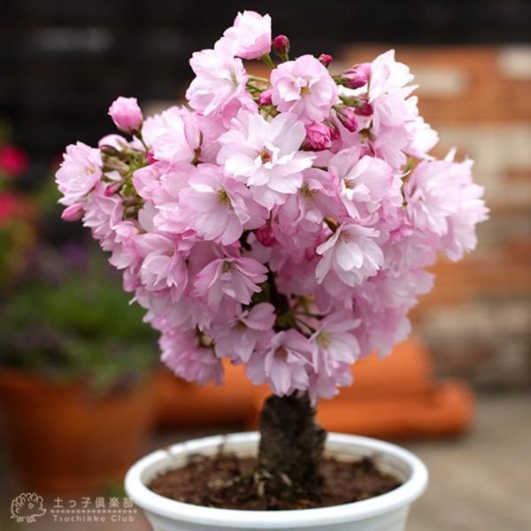 桜盆栽 『 一才桜 旭山(あさひやま) 』 (花芽付き)|produce87|04