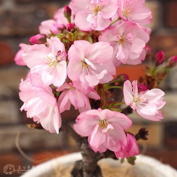 桜盆栽 『 一才桜 旭山(あさひやま) 』 (花芽付き)|produce87|06
