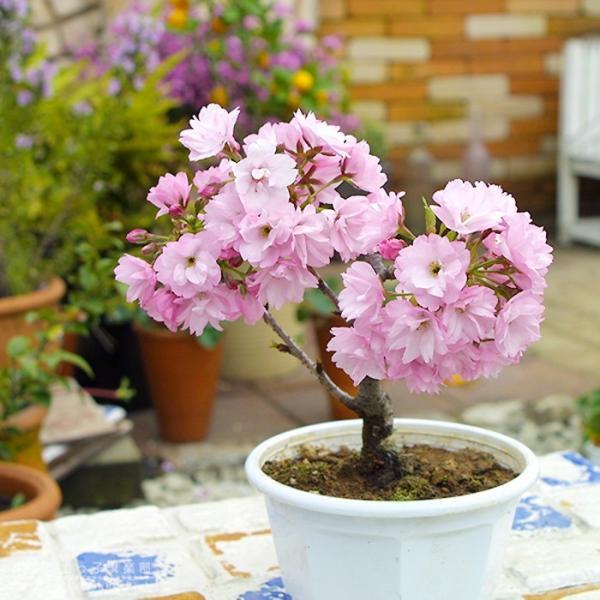 桜盆栽 『 一才桜 旭山(あさひやま) 』 (花芽付き)|produce87|07