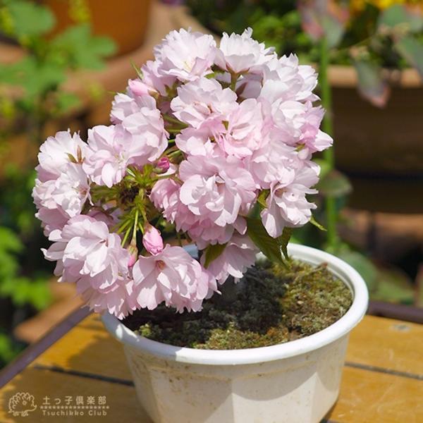 桜盆栽 『 一才桜 旭山(あさひやま) 』 (花芽付き)|produce87|08