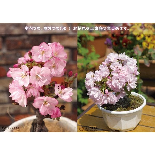 桜盆栽 『 一才桜 旭山(あさひやま) 』 (花芽付き)|produce87|09