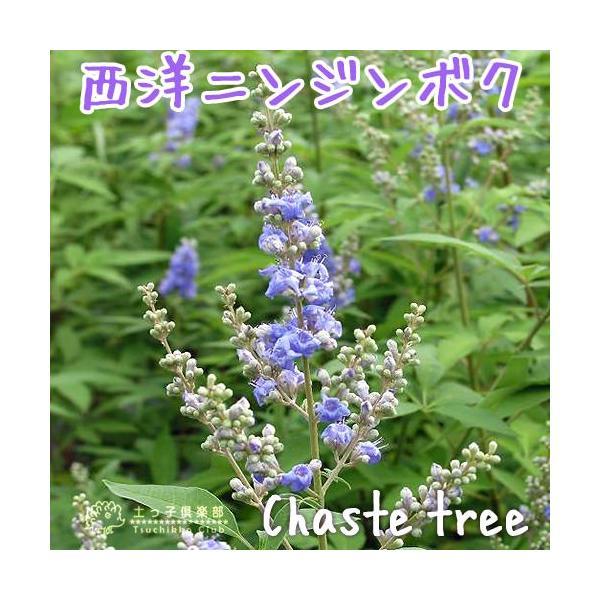 西洋ニンジンボク (チェストツリー) 12cmポット苗