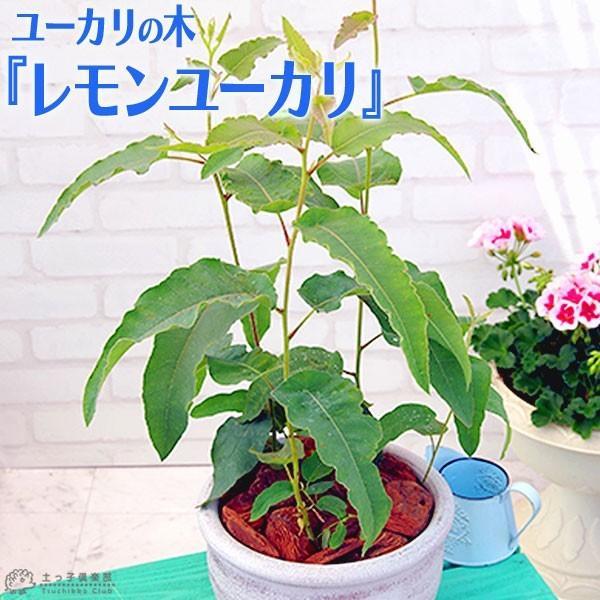 ユーカリの木 『 レモンユーカリ 』 10.5cmポット苗 |produce87