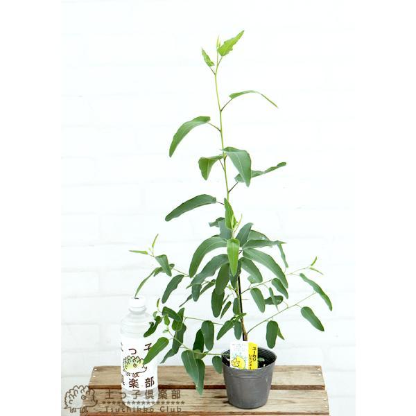 ユーカリの木 『 レモンユーカリ 』 10.5cmポット苗 |produce87|02