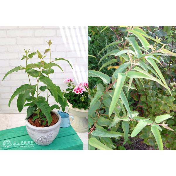 ユーカリの木 『 レモンユーカリ 』 10.5cmポット苗 |produce87|03