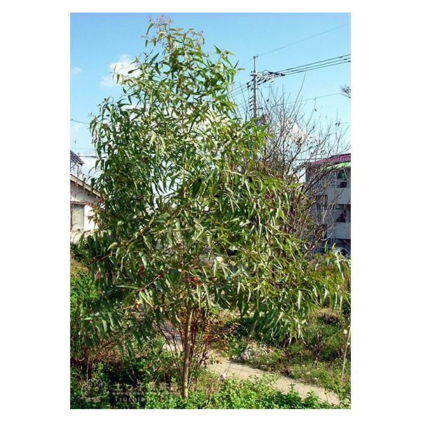 ユーカリの木 『 レモンユーカリ 』 10.5cmポット苗 |produce87|04