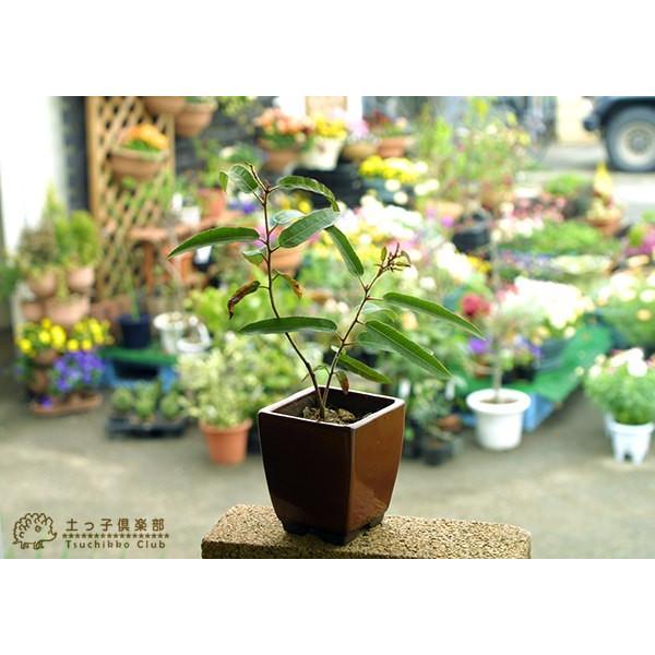 ユーカリの木 『 レモンユーカリ 』 10.5cmポット苗 |produce87|05