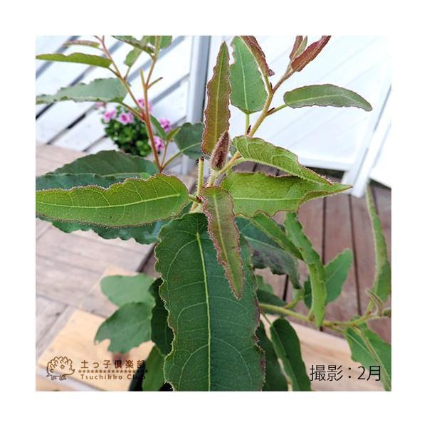 ユーカリの木 『 レモンユーカリ 』 10.5cmポット苗 |produce87|06