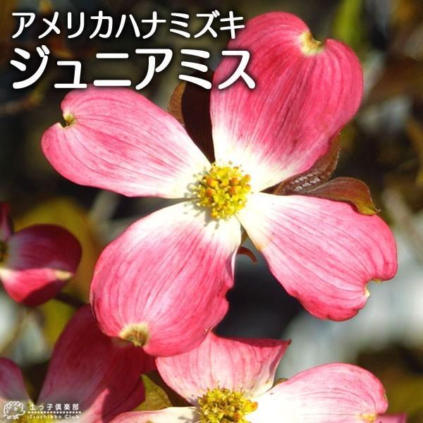 ハナミズキ 『 ジュニアミス 』 18cmポット苗 花芽付き|produce87