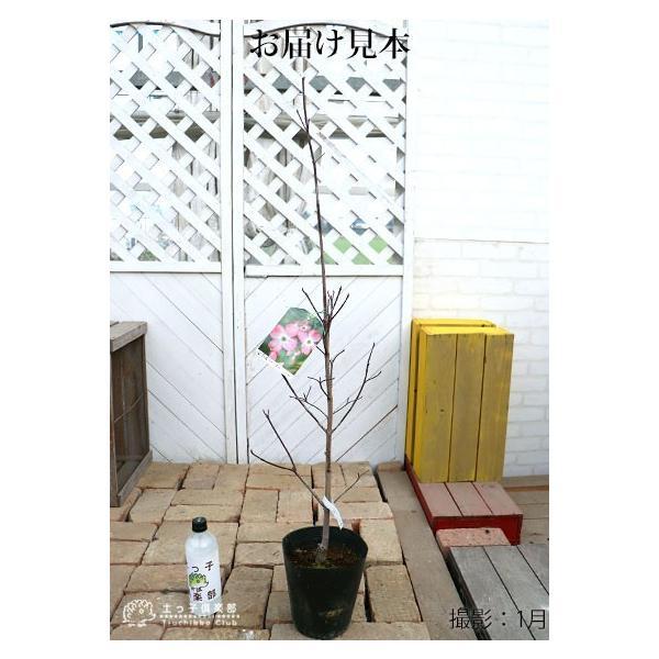 ハナミズキ 『 ジュニアミス 』 18cmポット苗 花芽付き|produce87|02