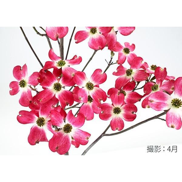 ハナミズキ 『 ジュニアミス 』 18cmポット苗 花芽付き|produce87|03