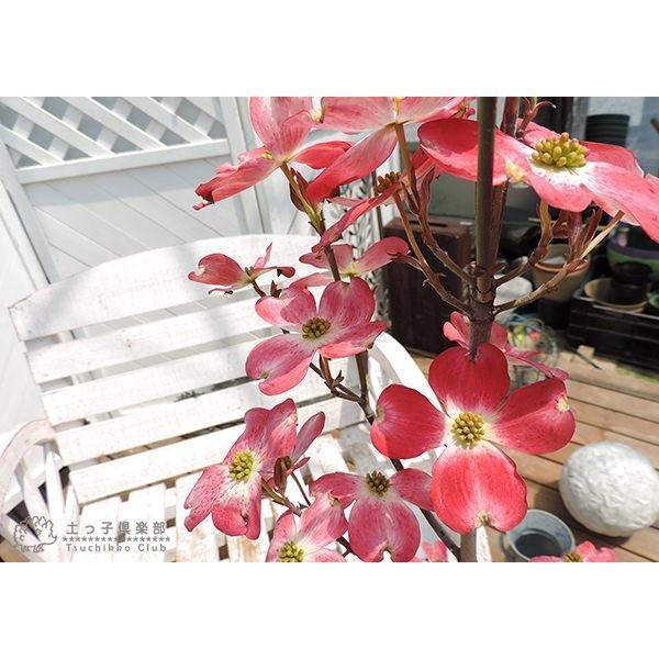 ハナミズキ 『 ジュニアミス 』 18cmポット苗 花芽付き|produce87|04