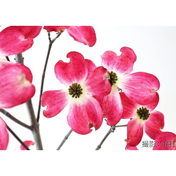 ハナミズキ 『 ジュニアミス 』 18cmポット苗 花芽付き|produce87|05