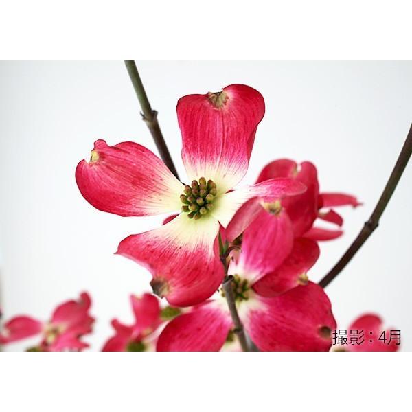 ハナミズキ 『 ジュニアミス 』 18cmポット苗 花芽付き|produce87|07