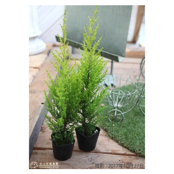 コニファー 『 ゴールドクレスト 』 2個セット 9cmポット苗木|produce87|02