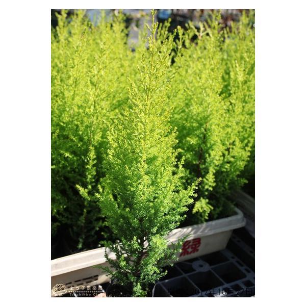コニファー 『 ゴールドクレスト 』 2個セット 9cmポット苗木|produce87|03