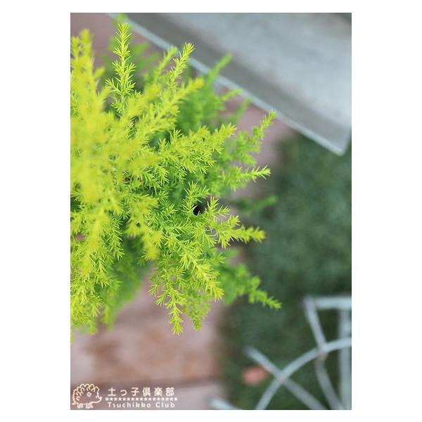 コニファー 『 ゴールドクレスト 』 2個セット 9cmポット苗木|produce87|04