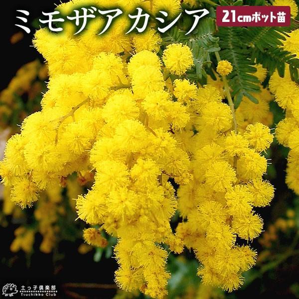 ミモザアカシア 7号 株立ち大苗 ( 銀葉アカシア ) :t-304-24:花と緑 ...