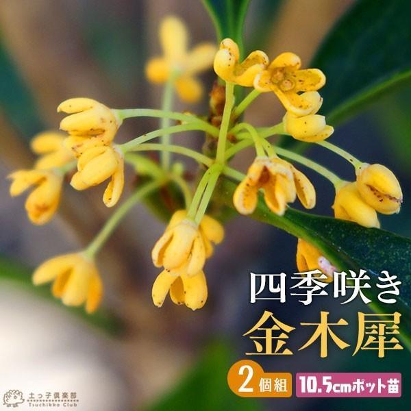 四季咲き金木犀 ( キンモクセイ ) 10.5cmポット苗 2個組|produce87