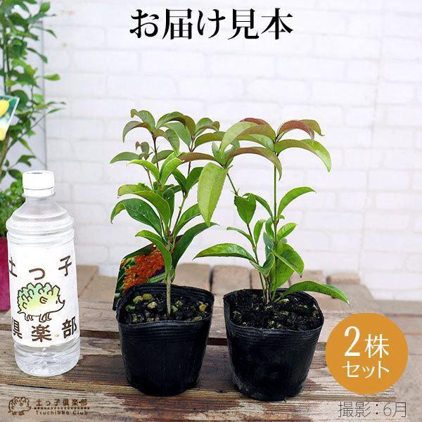 四季咲き金木犀 ( キンモクセイ ) 10.5cmポット苗 2個組|produce87|02