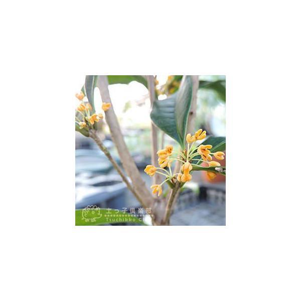 四季咲き金木犀 ( キンモクセイ ) 10.5cmポット苗 2個組|produce87|03