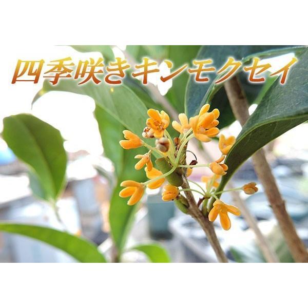 四季咲き金木犀 ( キンモクセイ ) 10.5cmポット苗 2個組|produce87|04