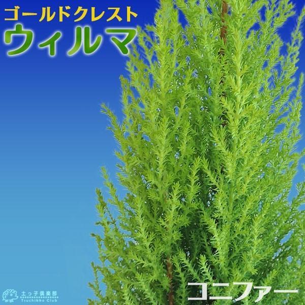 コニファー 『 ゴールドクレスト ウィルマ 』 12cmポット苗|produce87