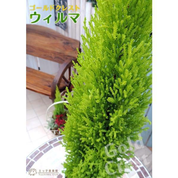 コニファー 『 ゴールドクレスト ウィルマ 』 12cmポット苗|produce87|05