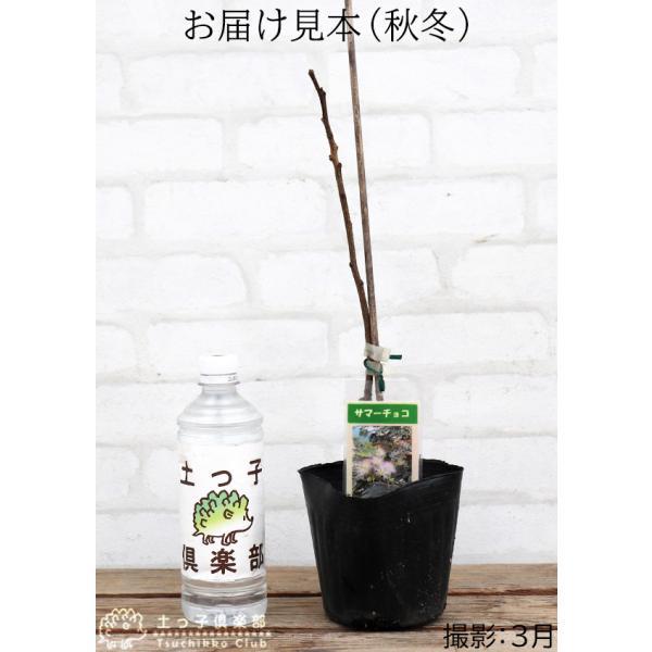 銅葉 ネムノキ 『 サマーチョコレート 』 接ぎ木13.5cmポット苗|produce87|02