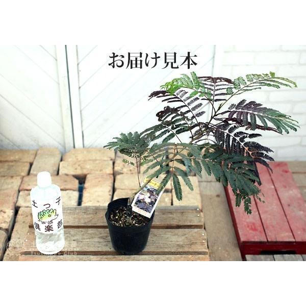 銅葉 ネムノキ 『 サマーチョコレート 』 接ぎ木13.5cmポット苗|produce87|03