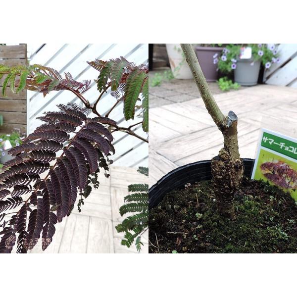 銅葉 ネムノキ 『 サマーチョコレート 』 接ぎ木13.5cmポット苗|produce87|04