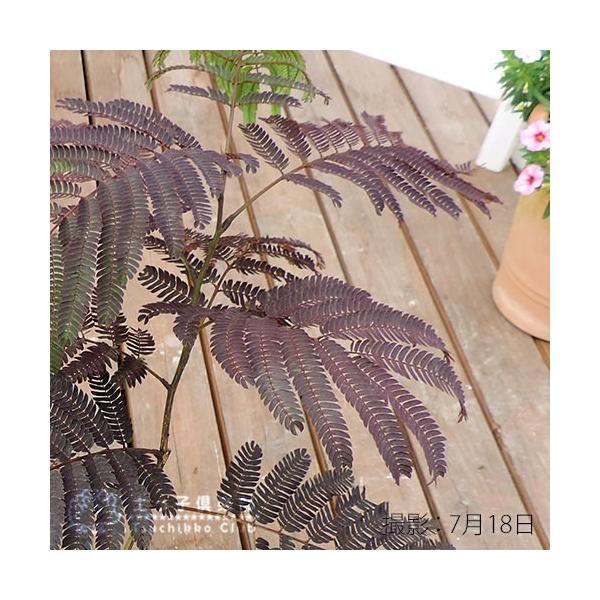 銅葉 ネムノキ 『 サマーチョコレート 』 接ぎ木13.5cmポット苗|produce87|05