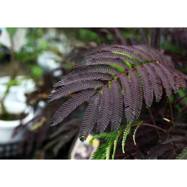 銅葉 ネムノキ 『 サマーチョコレート 』 接ぎ木13.5cmポット苗|produce87|07