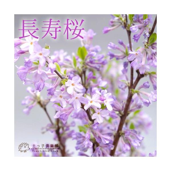 長寿桜 ( チョウジュザクラ ) 4号鉢植え(花芽付き) produce87