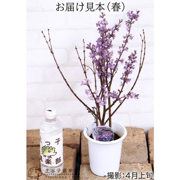 長寿桜 ( チョウジュザクラ ) 4号鉢植え(花芽付き) produce87 02