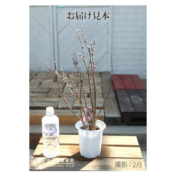 長寿桜 ( チョウジュザクラ ) 4号鉢植え(花芽付き) produce87 03